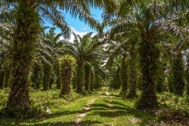 oil palm plantation - oleo palma imagens e fotografias de stock