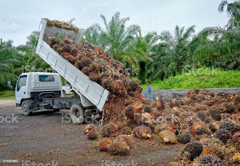 Oil palm plantation truck unloading freshly harvested fruit. stock photo