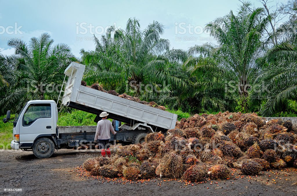 Oil palm plantation worker unloading freshly harvested fruit. stock photo