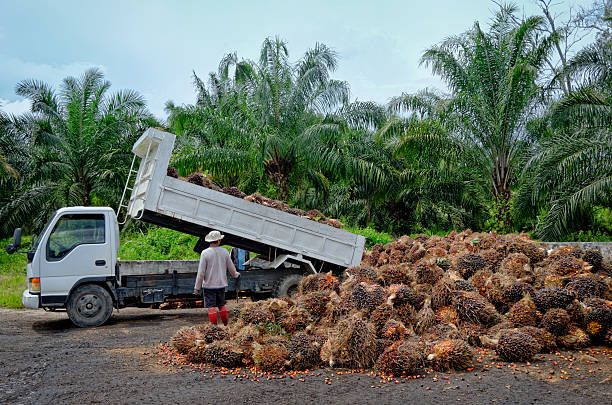 Oil palm plantation worker unloading freshly harvested fruit. Plantation workers watch as a truck unloads freshly harvested oil palm fruit bunches at a collection point. palm oil stock pictures, royalty-free photos & images