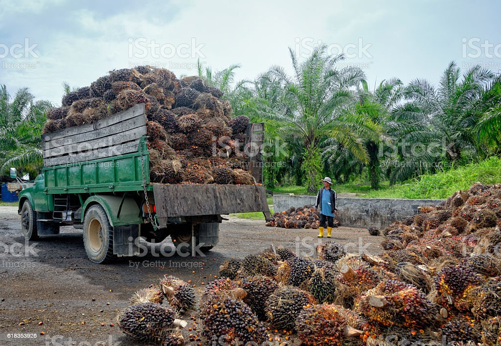 Oil palm plantation worker watching truck unload. stock photo