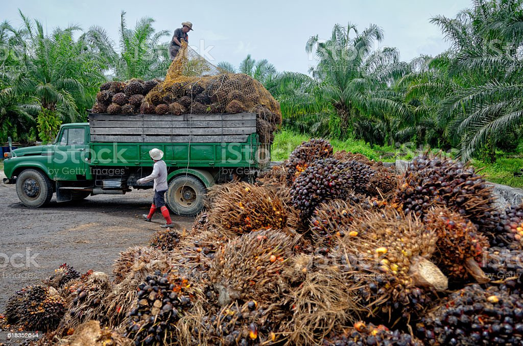 Oil palm plantation workers prepare to unload freshly harvested fruit. stock photo