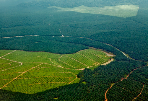 Oil Palm Plantations Stock Photo - Download Image Now