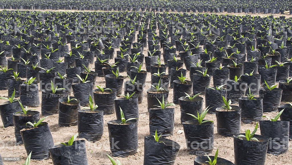 Oil palm seedlings stock photo