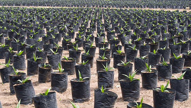 Oil palm seedlings stock photo