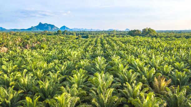 Oil palm tree plantation Oil palm tree plantation palm oil stock pictures, royalty-free photos & images