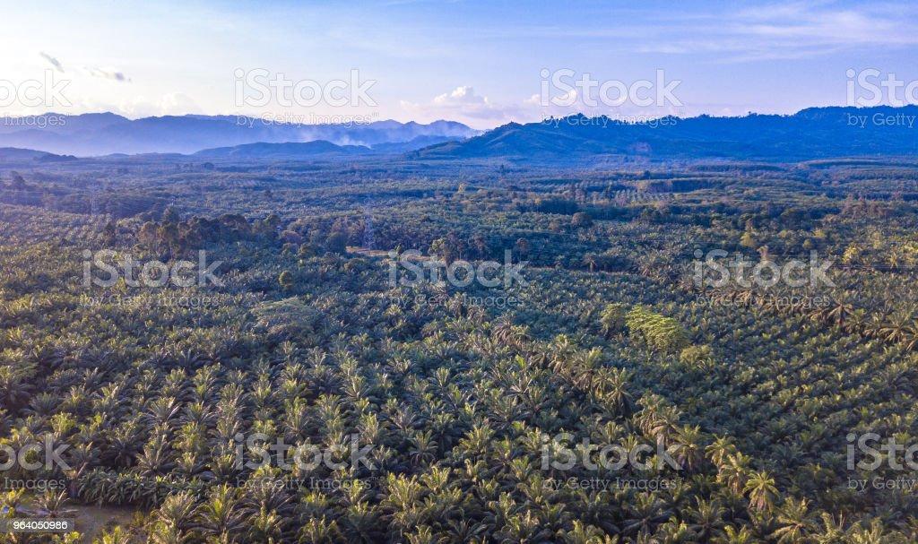 Oil palm tree plantation - Royalty-free Aerial View Stock Photo