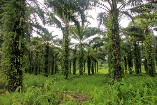 oil palms plantation in costa rica - oleo palma imagens e fotografias de stock