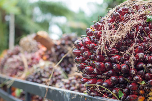 Oil plam fruit of factory,Background Oil plam fruit of factory,Background palm oil stock pictures, royalty-free photos & images