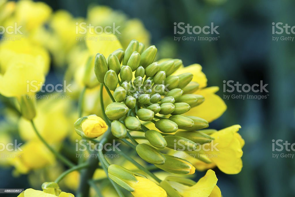 Oil Seed Close-up stock photo