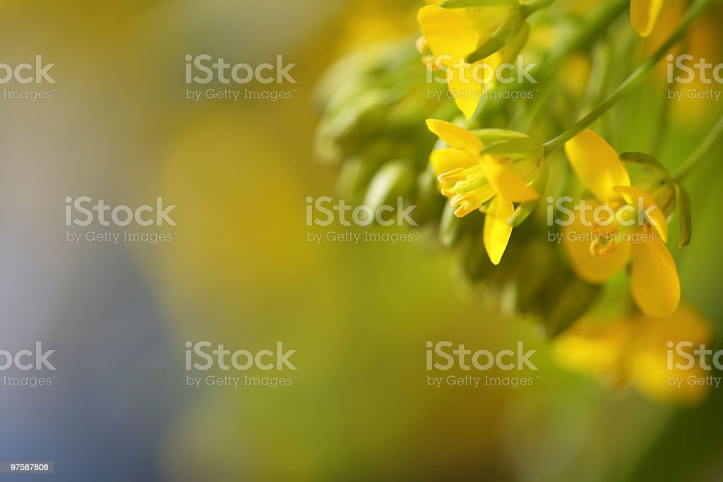 Oil Seed Close-up royalty-free stock photo