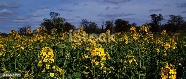 istock oil seed rape agriculture field panoramic image 1004802228