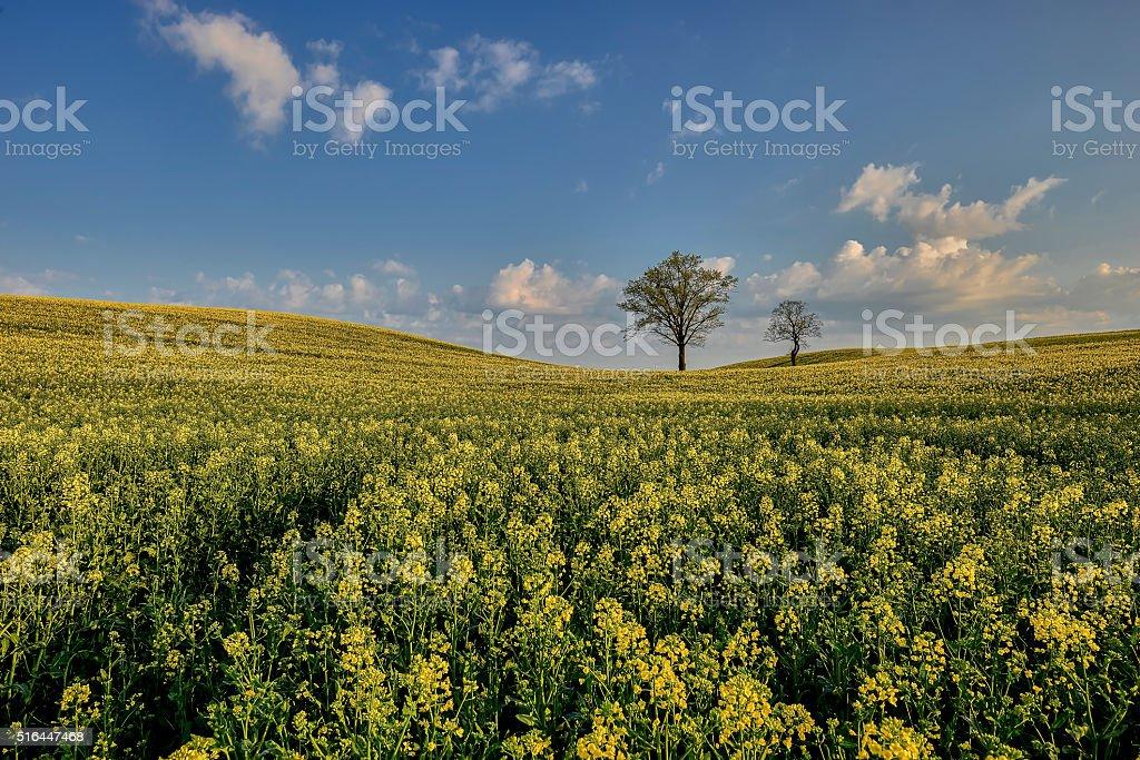 Oil seed rape field in early spring stock photo