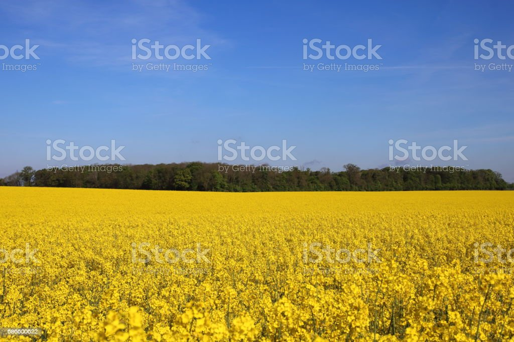 Oil seed rape yellow field in the spring royalty-free stock photo