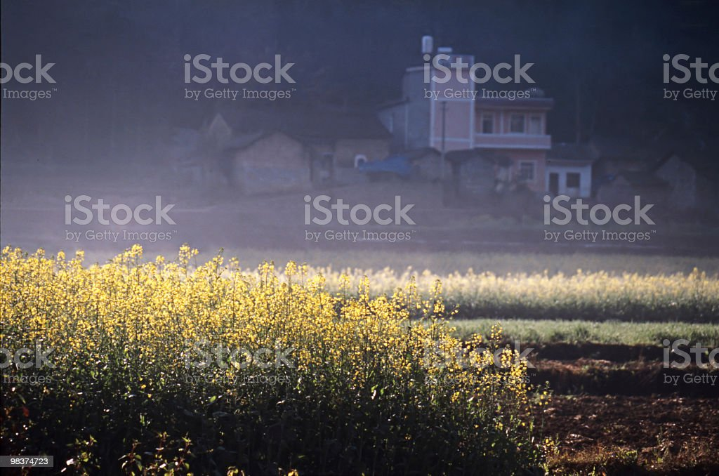 oilseed field royalty-free stock photo