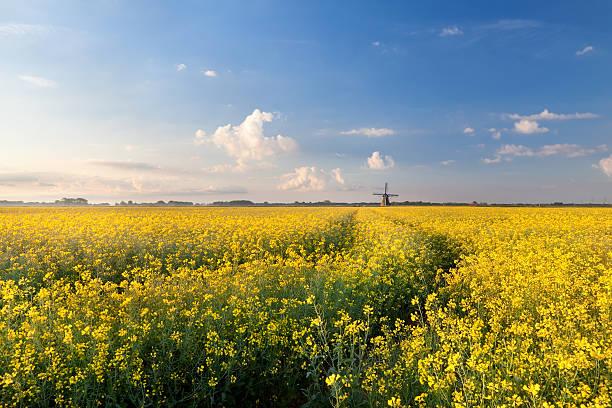 oilseed flower field in morning light foto