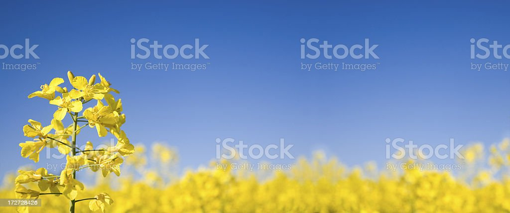 Oilseed Panoramic (XLarge) - Royalty-free Agriculture Stock Photo