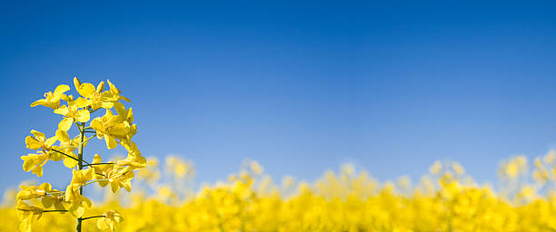 Oilseed Panoramic (XLarge) stock photo