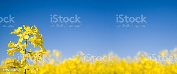 Oilseed Panoramic Stock Photo - Download Image Now