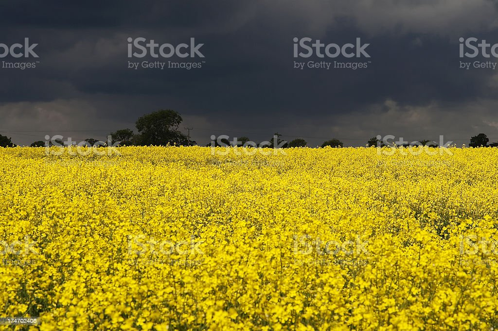 Oilseed rape and storm clouds royalty-free stock photo