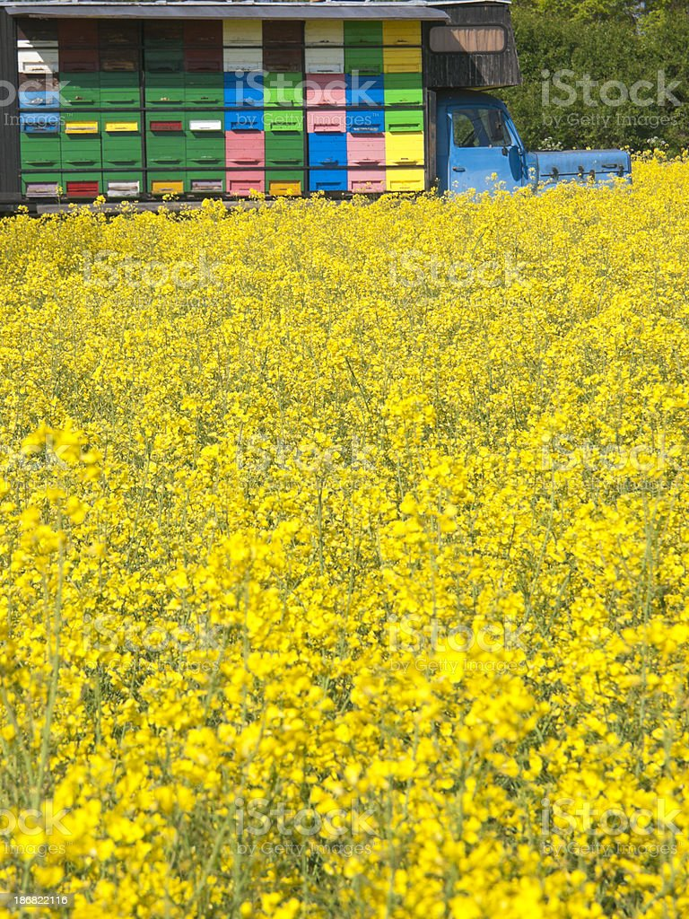 Oilseed rape canola and beehive royalty-free stock photo