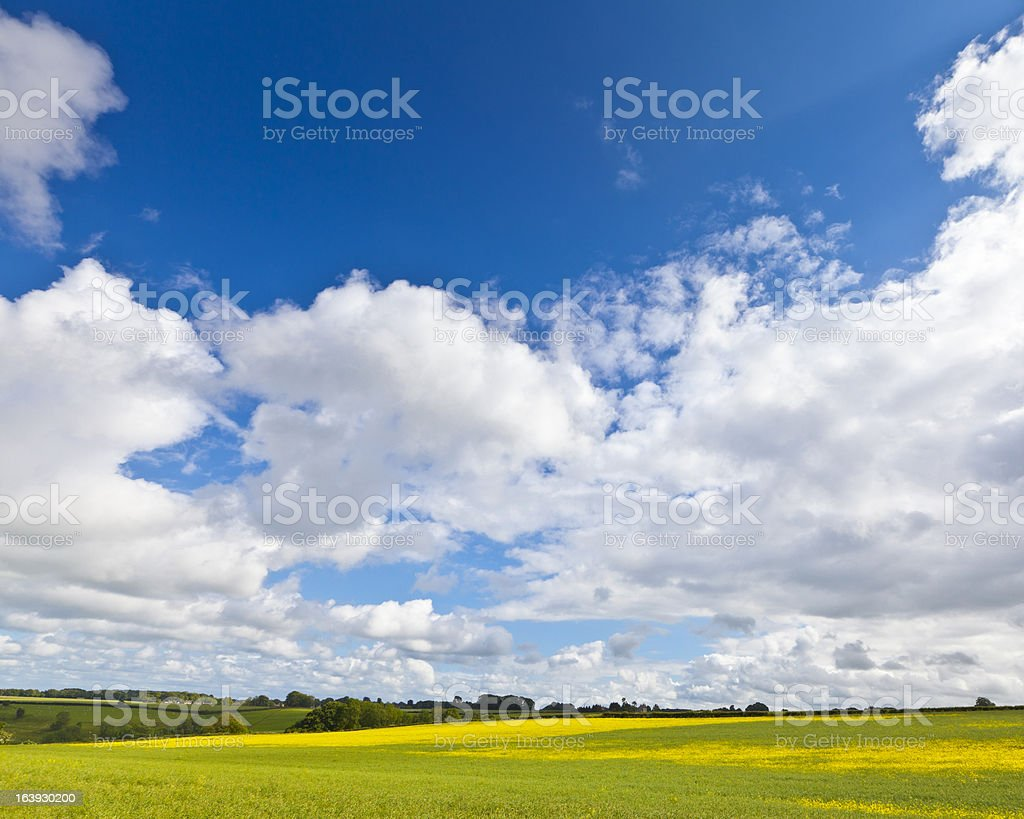 Oilseed Rape, Canola, Biodiesel Crop royalty-free stock photo