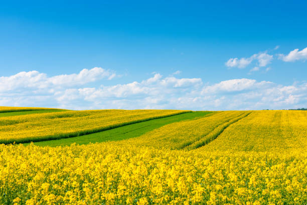 Oilseed rape field at sunny day Yellow flowering rape field with in the rural countryside landscape at sunny spring day with blue sky canola stock pictures, royalty-free photos & images