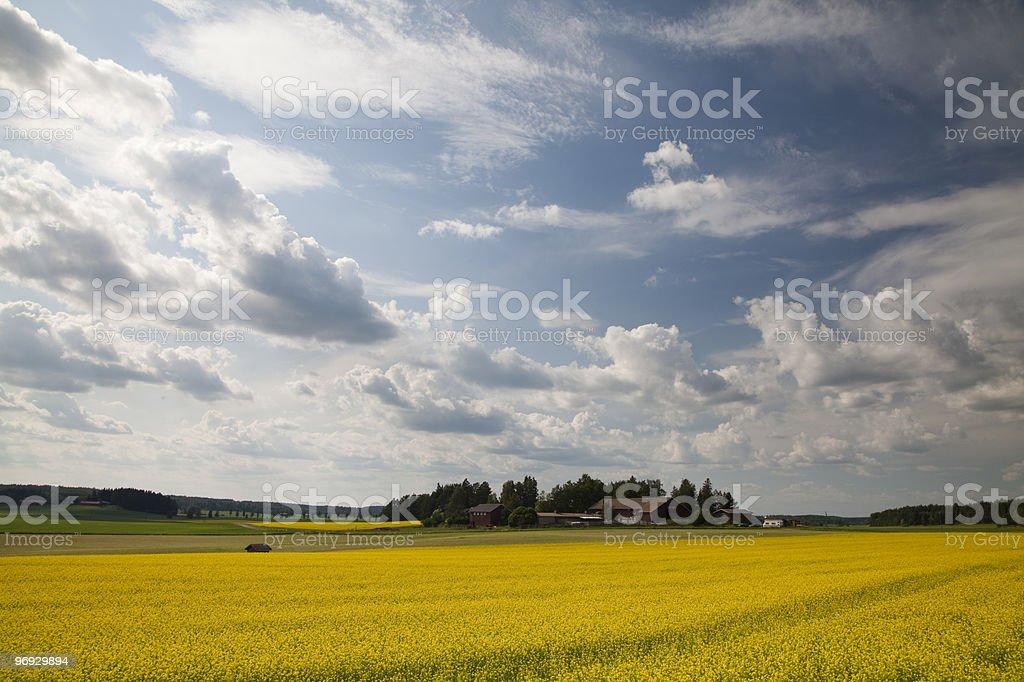 Oilseed Rape Field in Finland royalty-free stock photo