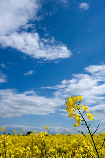 Oilseed rape field in full flower with a blue sky