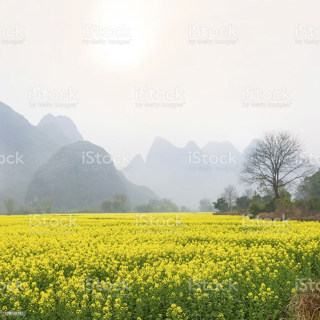 Oilseed rape field in spring royalty-free stock photo