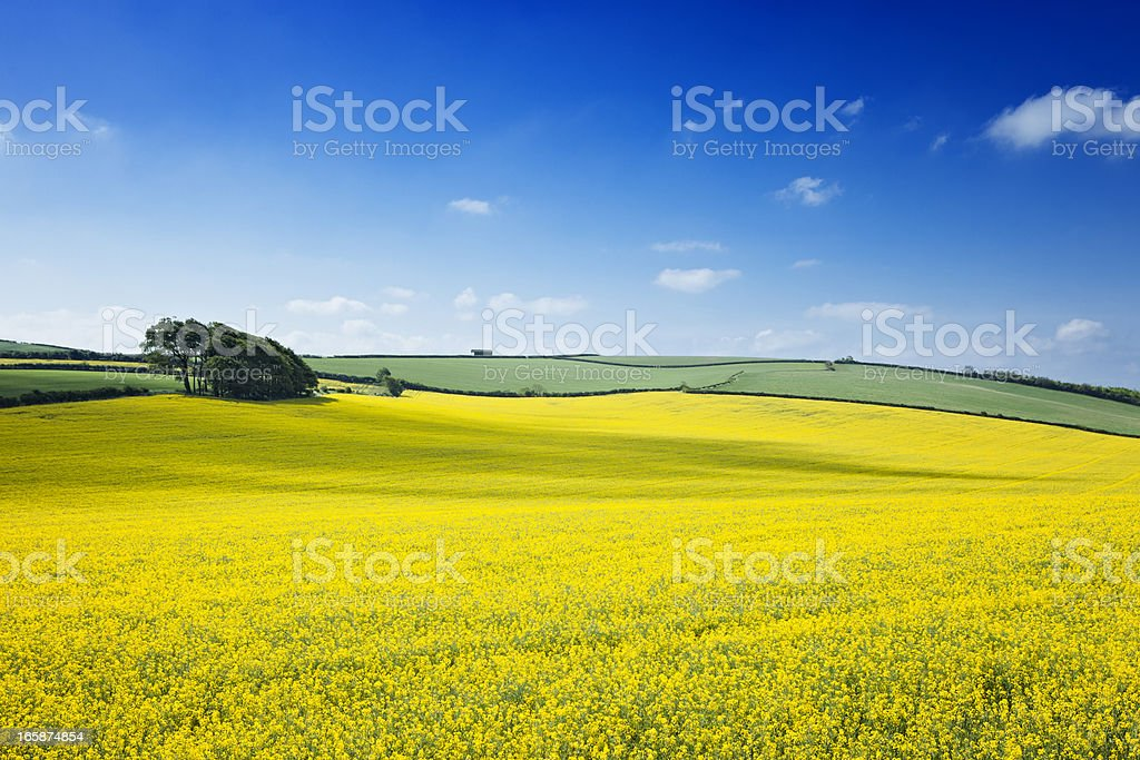 Oilseed rape field stock photo