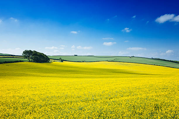 Oilseed rape field Oilseed rape field with nice spring sky. oilseed rape stock pictures, royalty-free photos & images