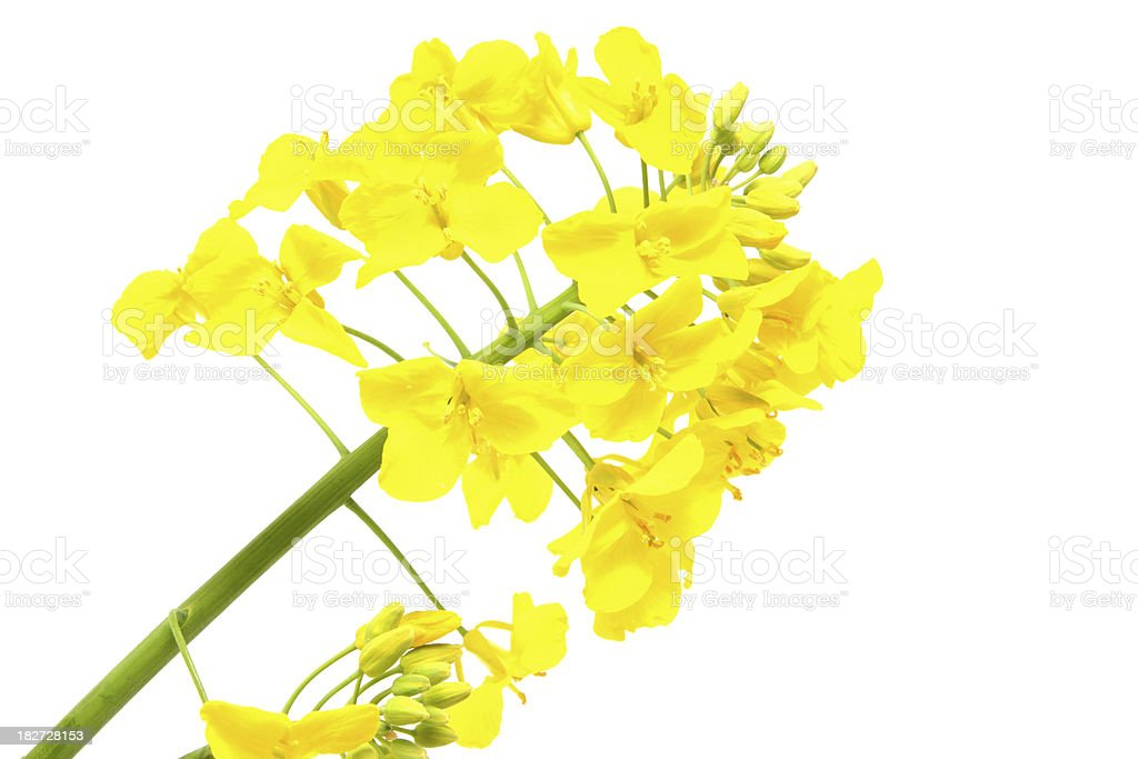 Oilseed Rape Flower Head on White Background stock photo