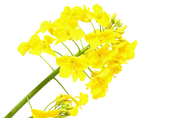 Oilseed Rape Flower Head on White Background Oilseed Rape Flower Head on White Background oilseed rape stock pictures, royalty-free photos & images