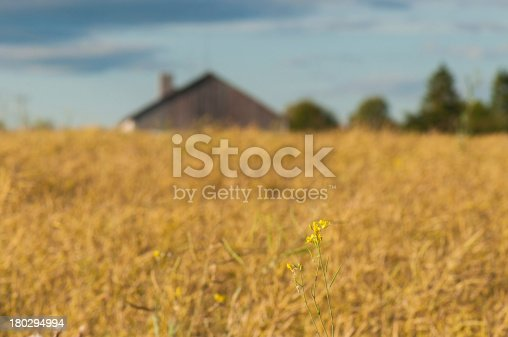 istock Oilseed rape flower with rapefield on the background 180294994