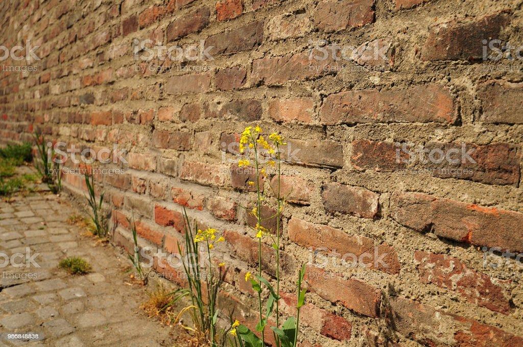 Raps wächst an alten Stadtmauer – Foto