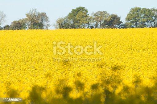 Oilseed Rape in Eynsford, England
