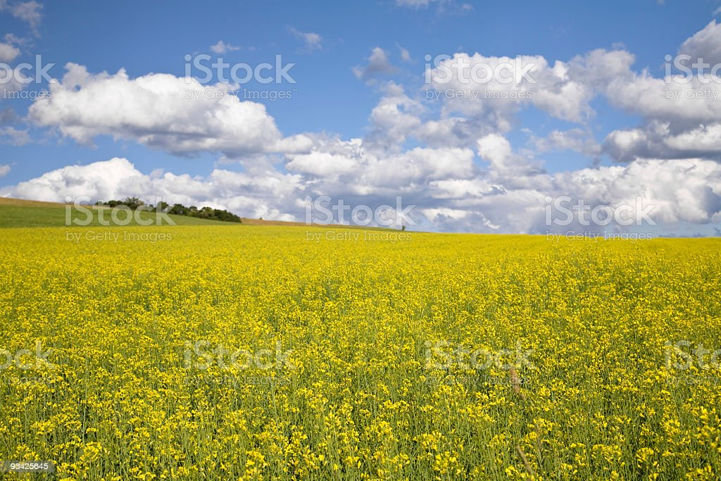 oilseed rape landscape royalty-free stock photo