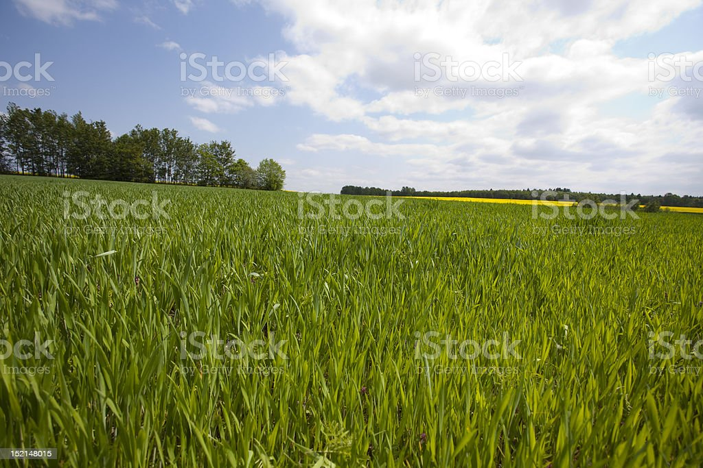 Oilseed rape royalty-free stock photo
