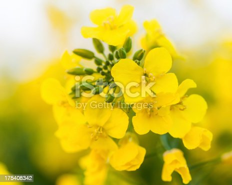 Close up detail of an oilseed rape flower.