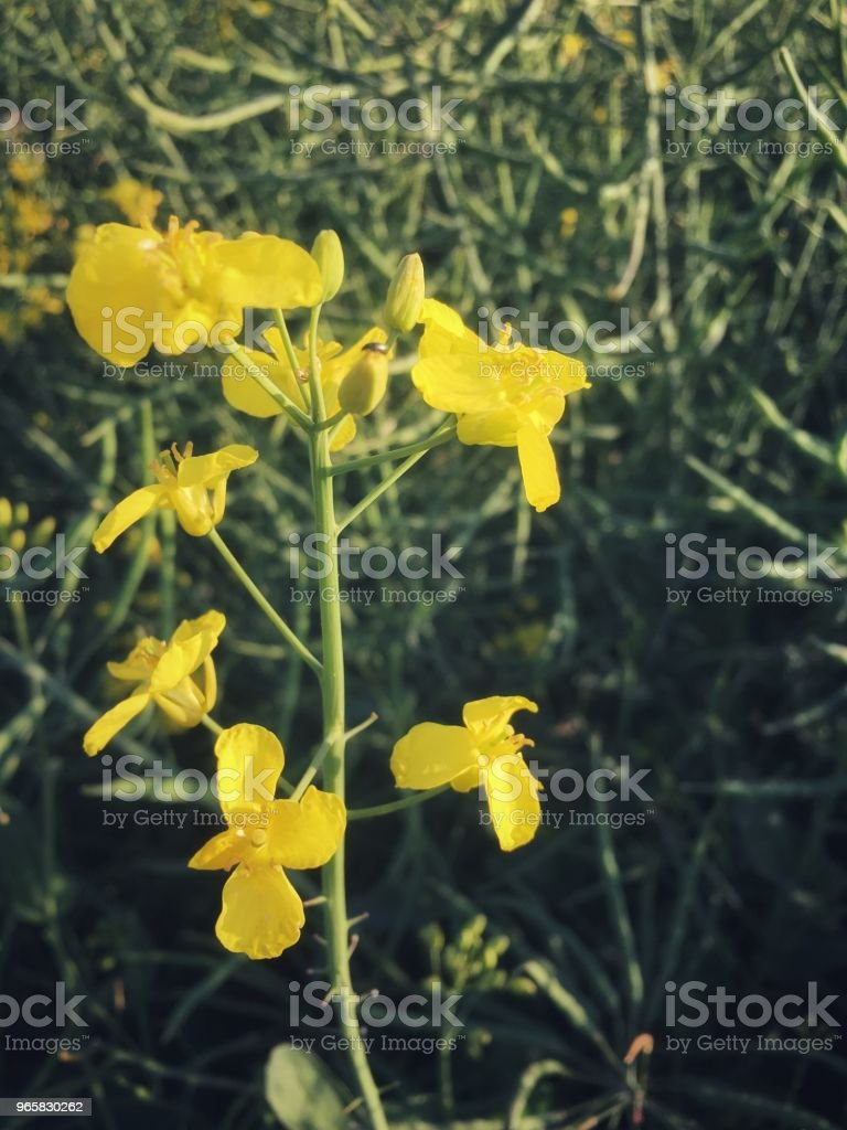 Oilseed rape plant starts flowering in mid Spring, Oxfordshire, England - Royalty-free Agricultural Field Stock Photo