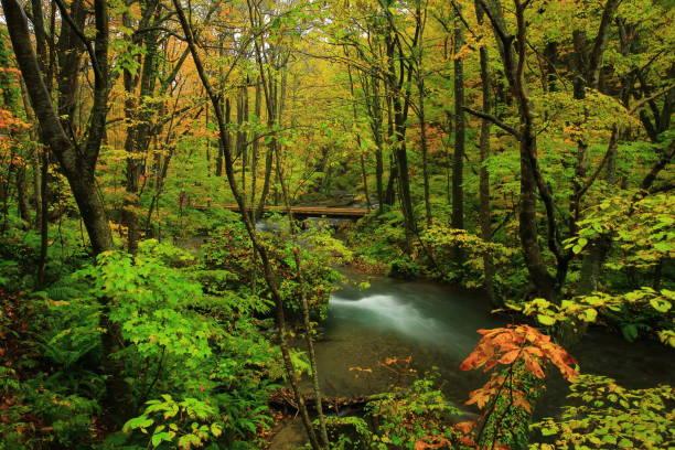 oirase flux de feuilles d'automne - arbre à feuilles caduques photos et images de collection