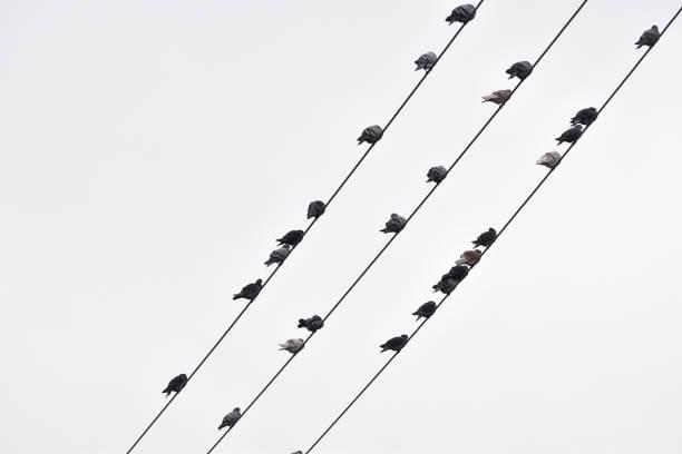 oiseaux sur fils - pena de pássaro algodão imagens e fotografias de stock