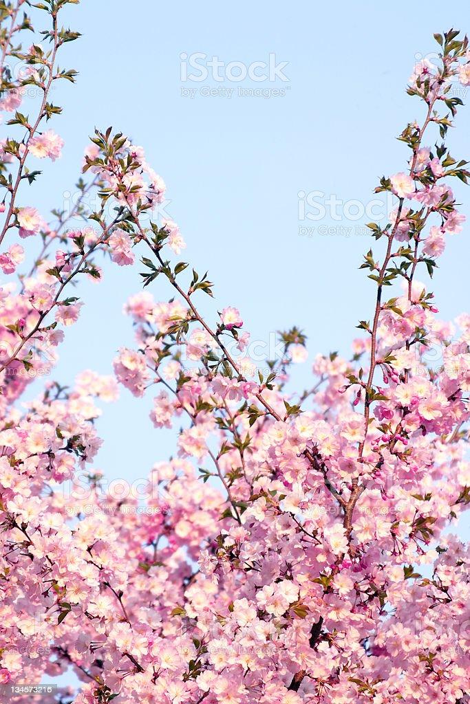 Okame Cherry Blossom Tree - Blue Sky stock photo