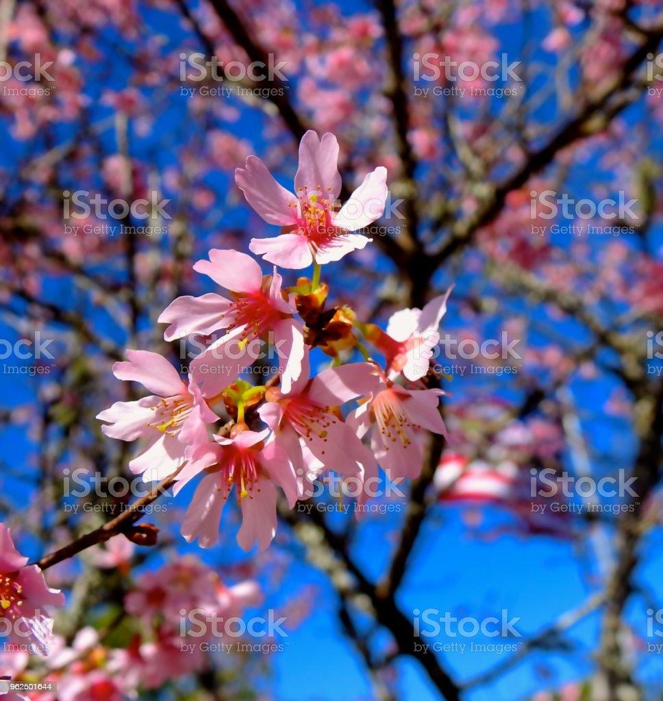 Okame Cherry (Prunus x 'Okame'). - Royalty-free Beauty Stock Photo
