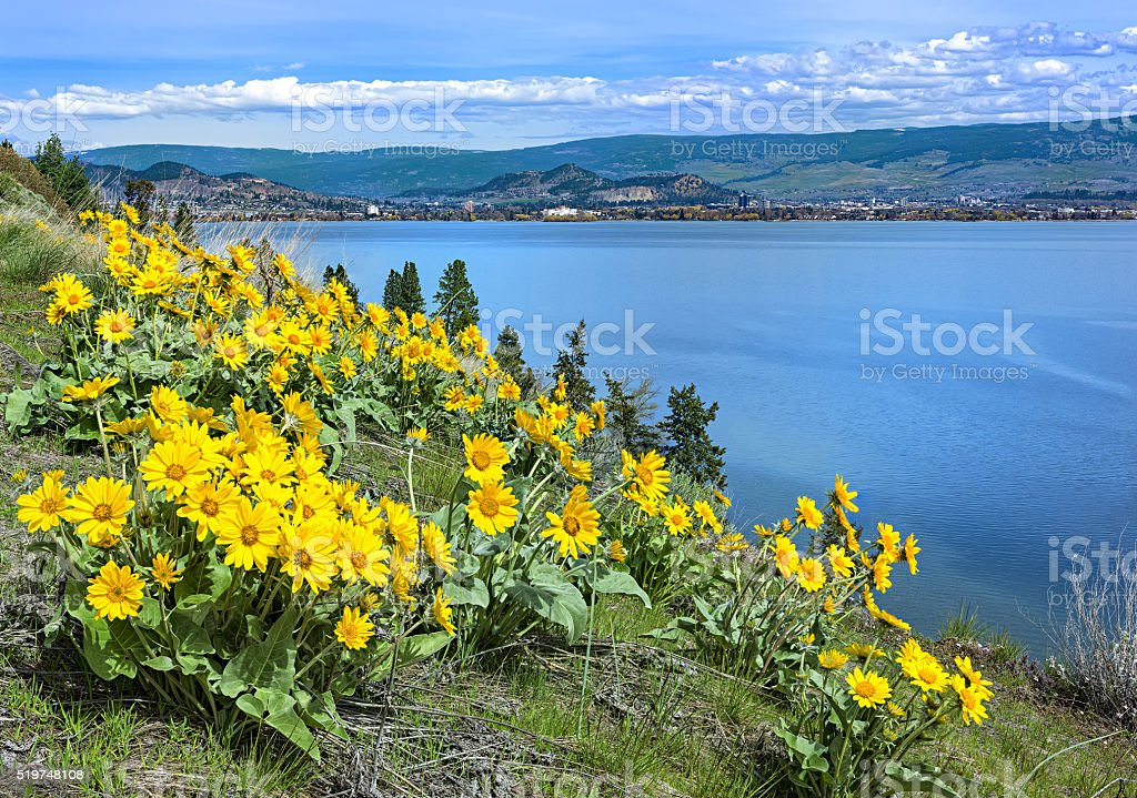 Okanagan Lake Kelowna British Columbia Canada with Balsamroot flowers stock photo