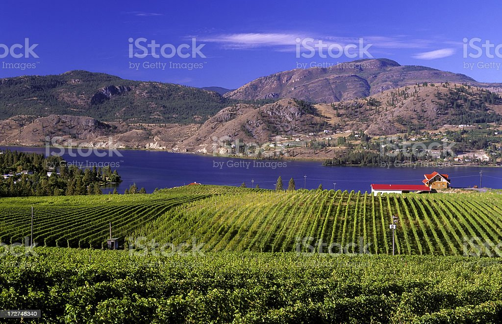 okanagan valley vineyard stock photo
