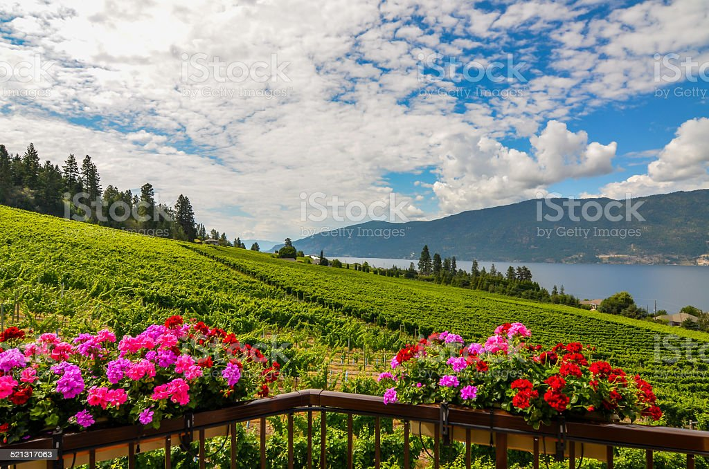 Okanagan vineyards stock photo