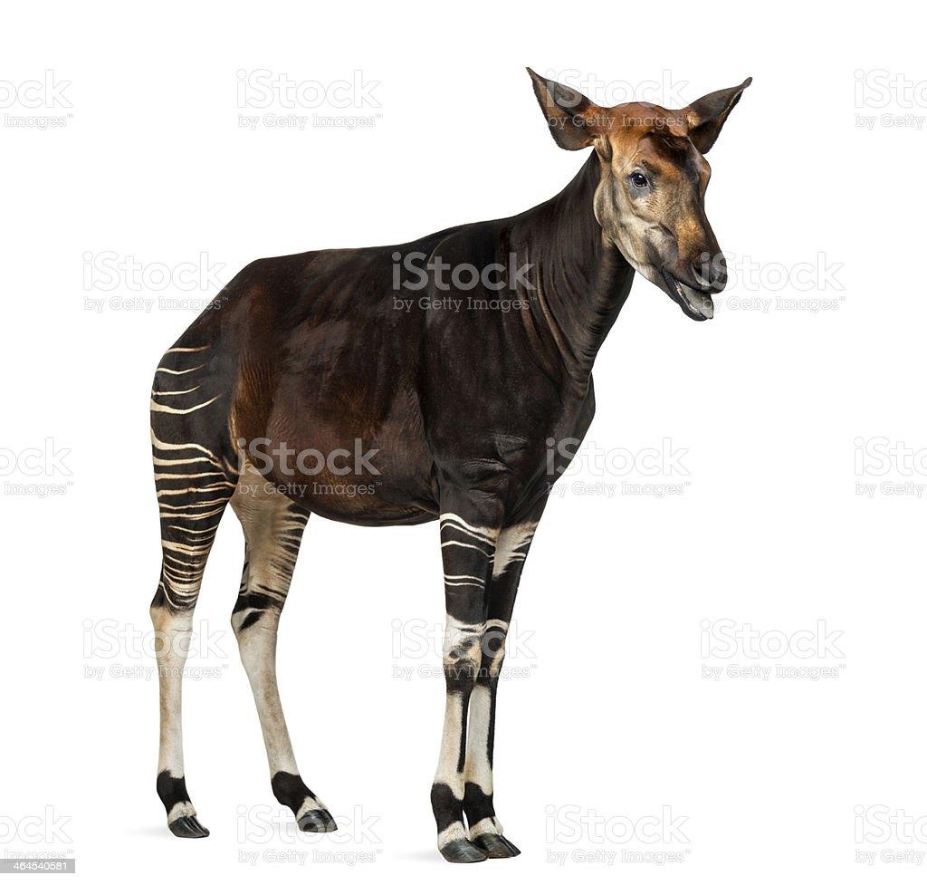 Okapi standing, mooing, Okapia johnstoni, isolated on white stock photo