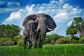 istock Okavango delta, wild elephant. Wildlife scene from nature, elephant in habitat, Moremi, , Botswana, Africa. Green wet season, blue sky with clouds. African safari. 1293904168